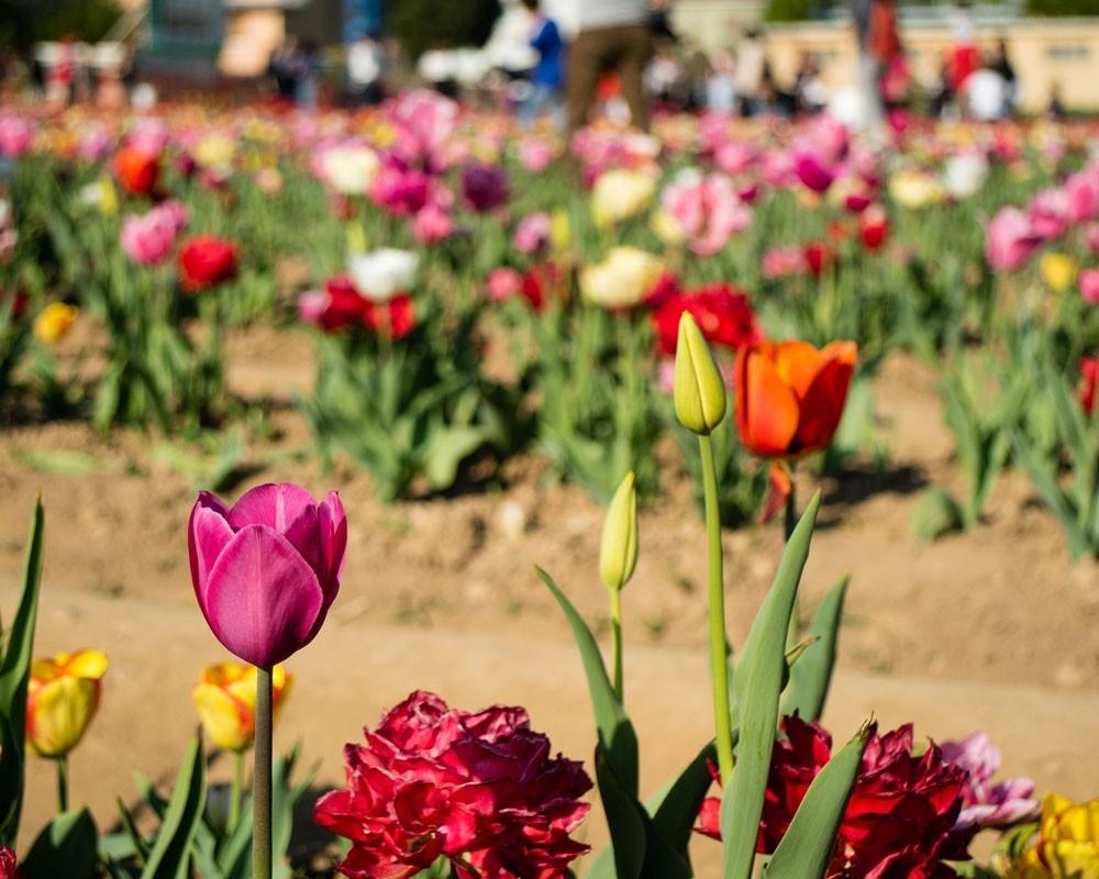 Parco dei Tulipani Milano